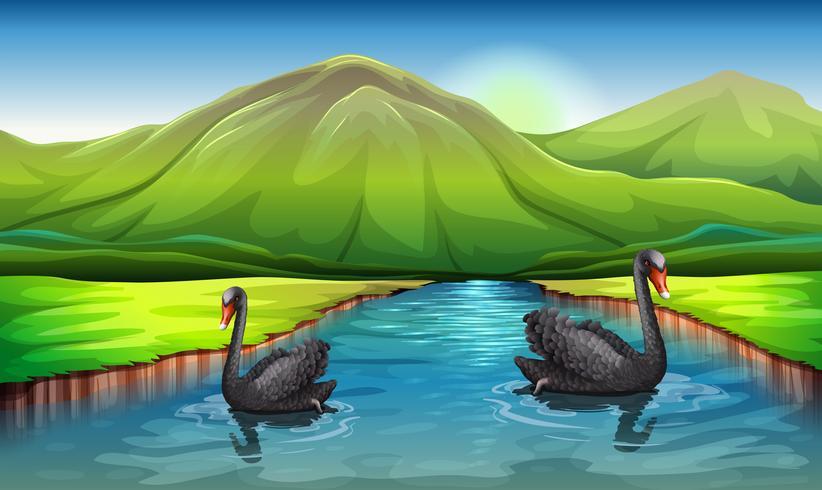 Cygnes dans la rivière