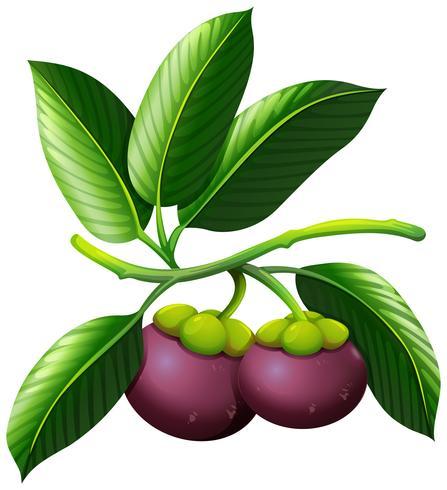 Ramo di mangostano con frutti
