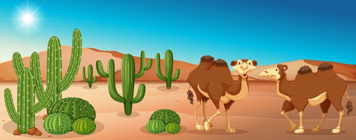 Två kameler som står i öknen fält vektor