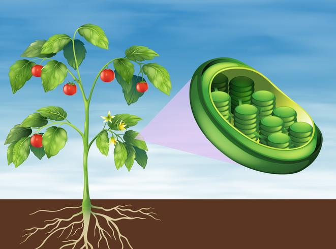 Cloroplastos em plantas