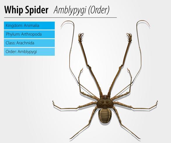 Amblypygi - Gattung