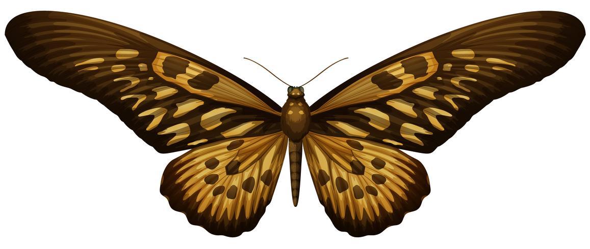Cola de golondrina africana gigante - Papilio antimachus