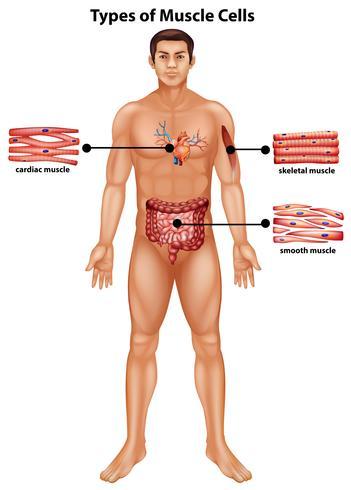 Diagram som visar typer av muskelceller