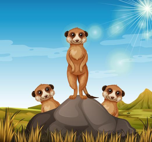 Tre meerkats som står på berget