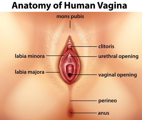 Diagram showing anatomy of vagina