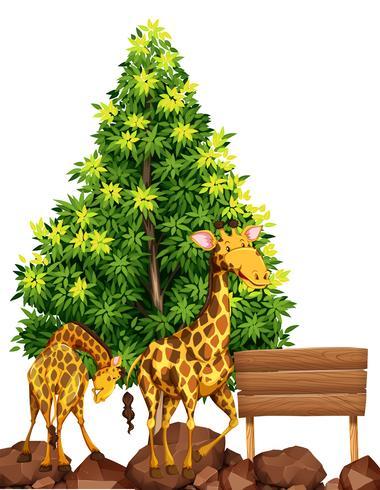Dos jirafas junto al cartel de madera.