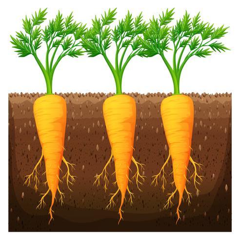 Verse wortel groeien in het veld vector