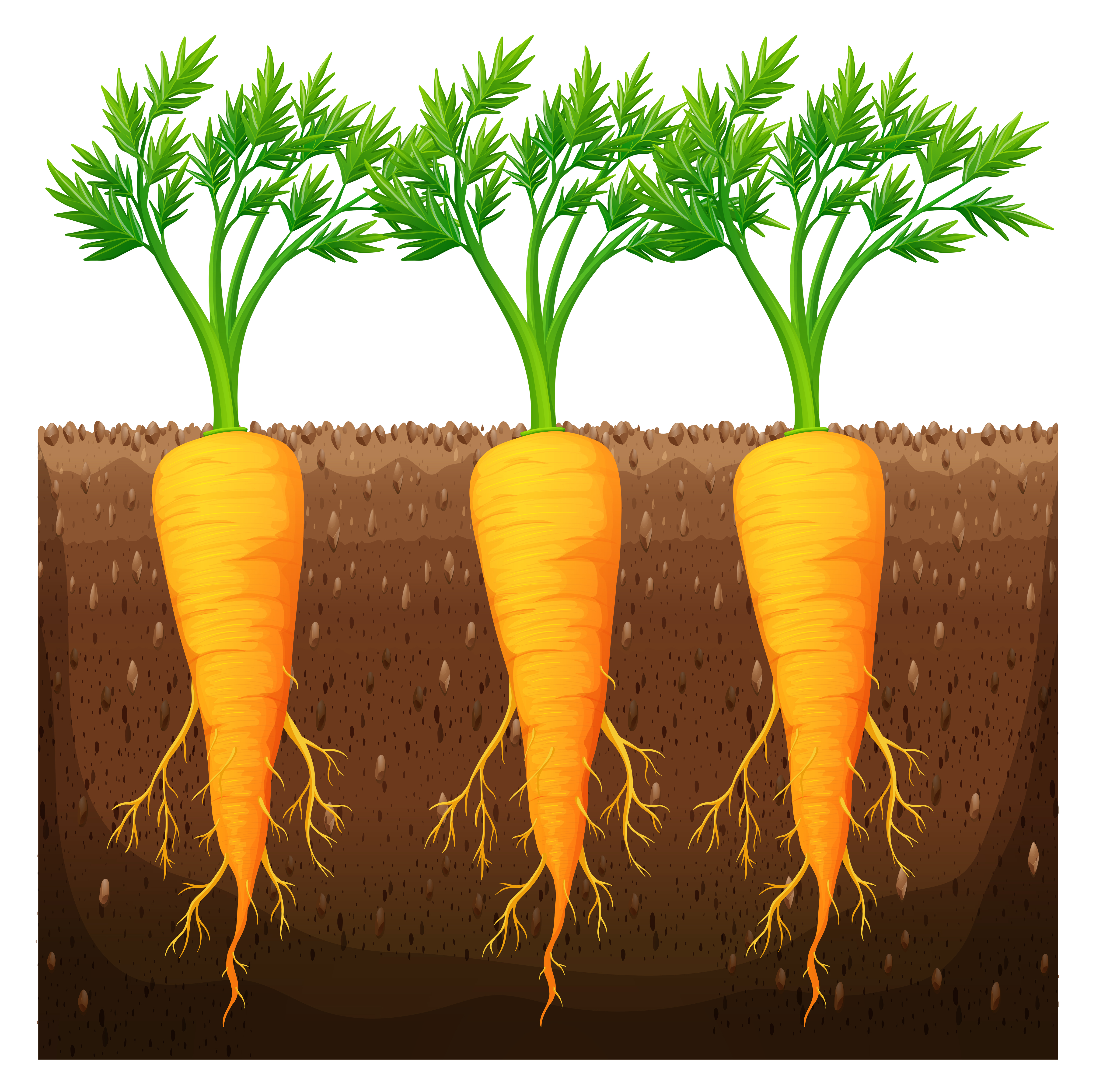 Fresh carrot growing in the field - Download Free Vectors ...