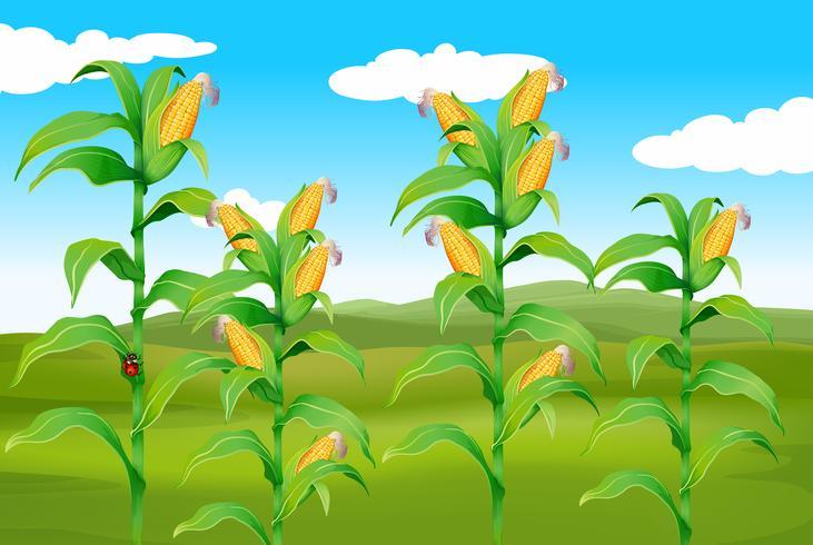 Escena de la granja con maíz fresco