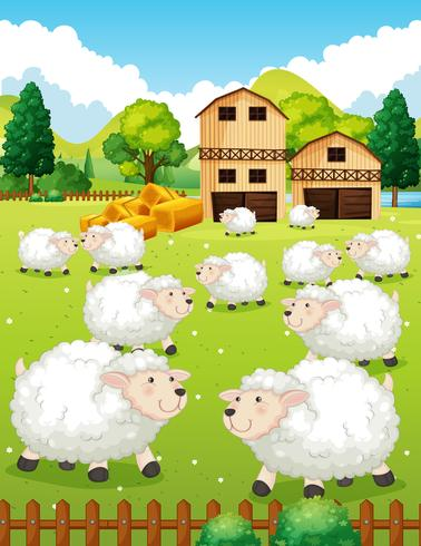 Lots of sheeps in the farm