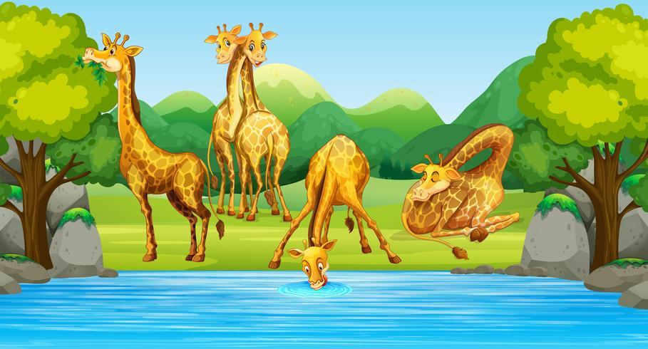 Gruppe der Giraffe in der Natur