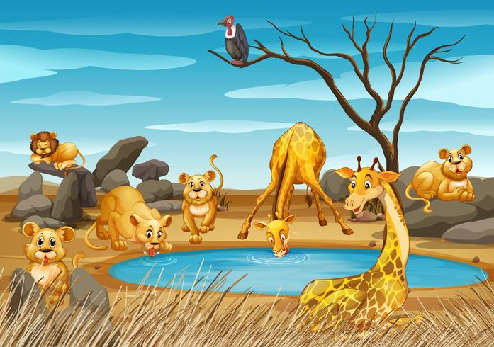 Giraffes and lions by the pond vector