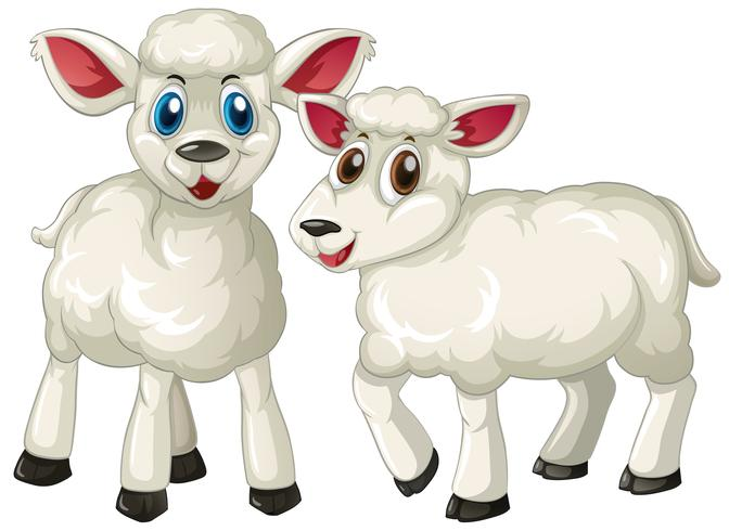 Two cute lambs standing