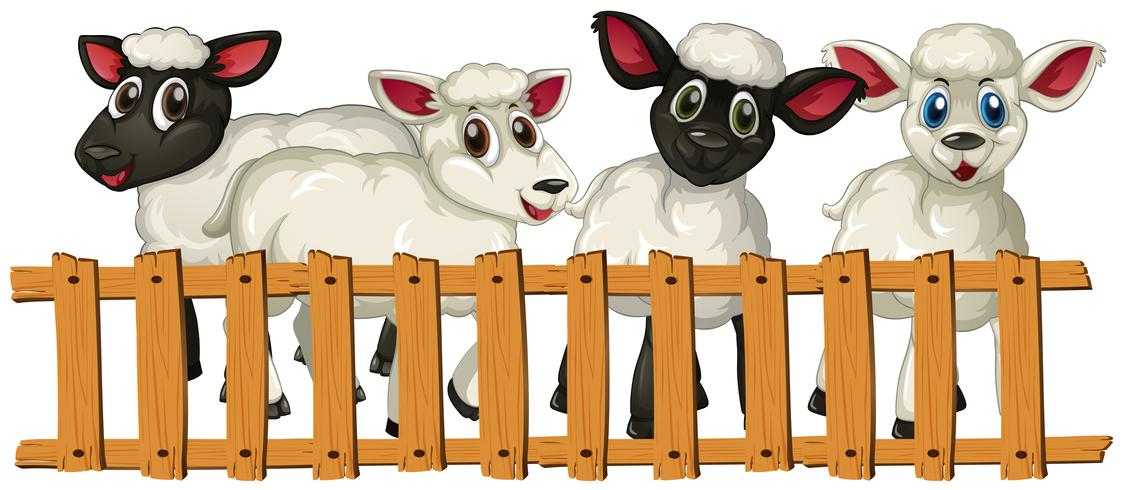 Four lambs behind the fence