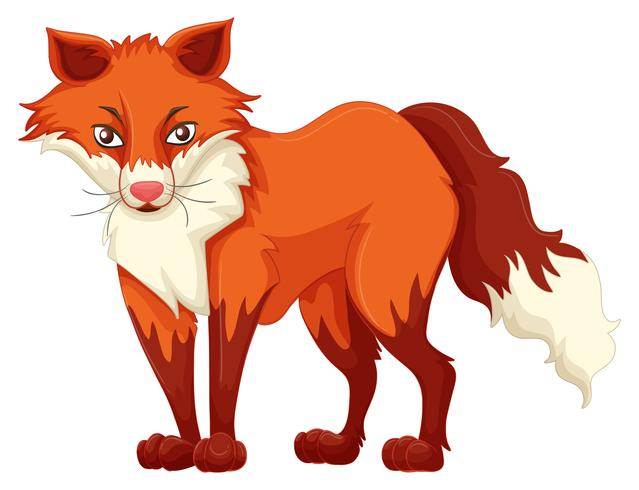 Red fox standing on white background