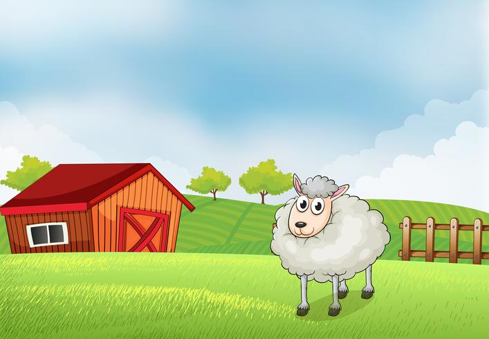 A sheep in the farm with barn and wooden fence at the back