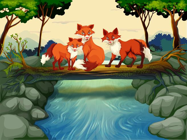 Tres zorros en el tronco sobre el río.