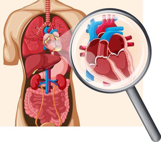 Corazón humano y sistema circulatorio vector
