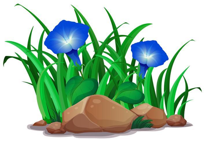 Blauwe ochtendglorie in de tuin