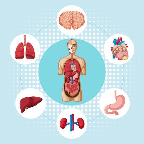 Diagrama que muestra diferentes órganos de humanos.