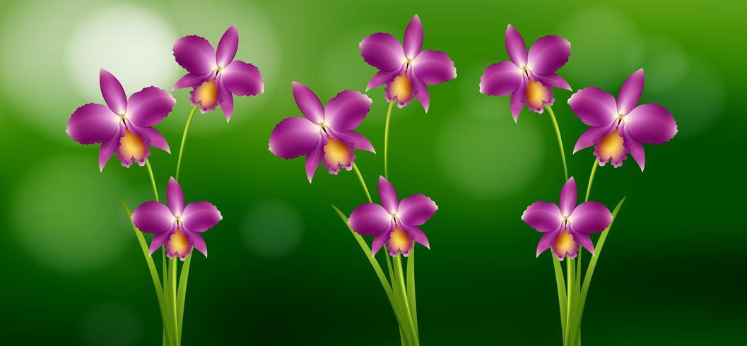Orquídea roxa no jardim