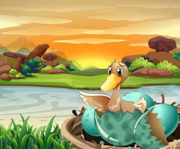 Pato, ovo de incubação pelo rio