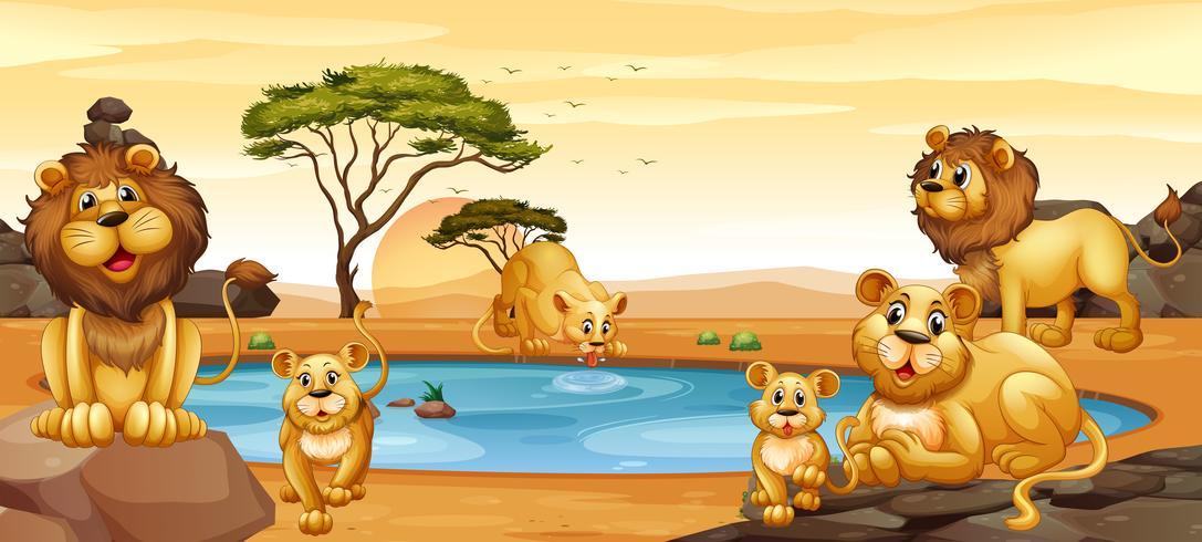 Leeuwen wonen bij de vijver