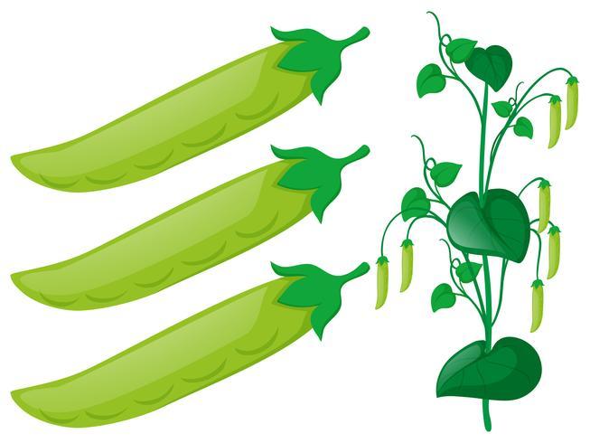 Planta de guisante verde sobre fondo blanco