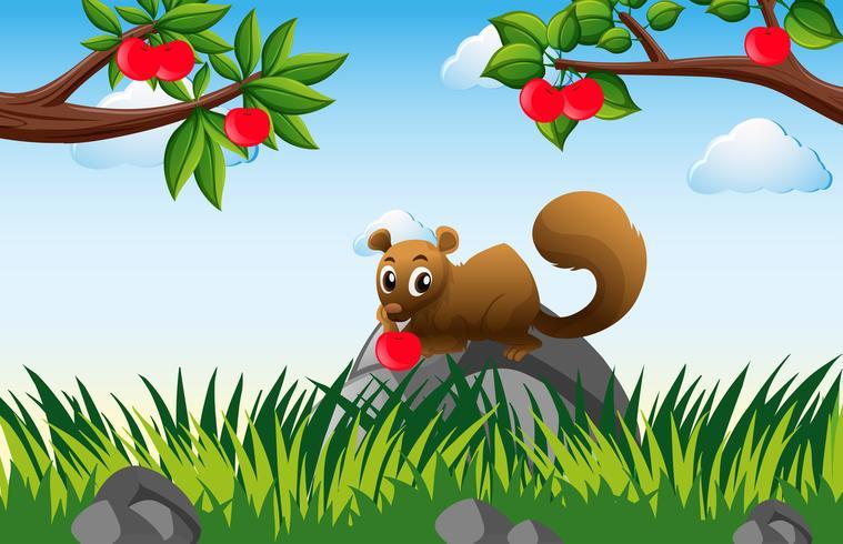 Brun ekorre i äppelodling
