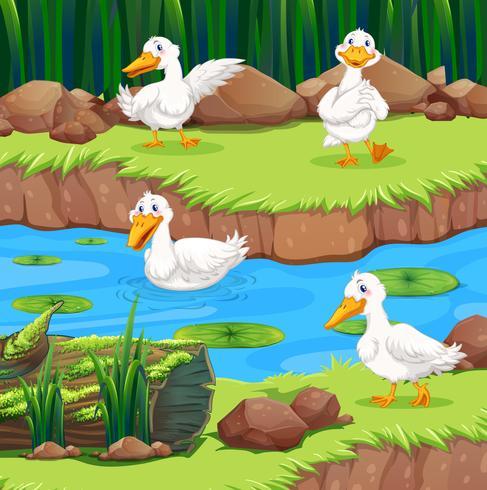 Quattro anatre nel fiume