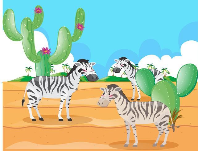 Zebra vivendo no deserto