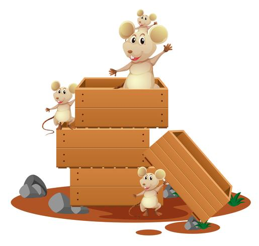Many rats in wooden boxes