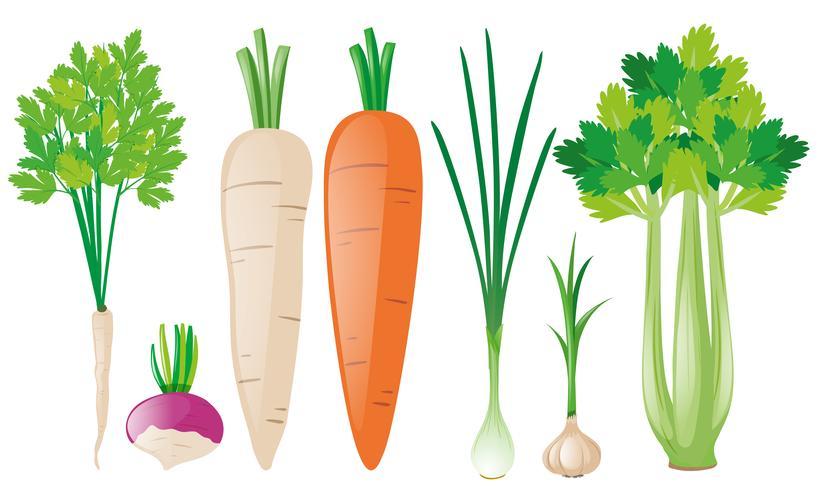 Diferentes tipos de vegetales de raíz.