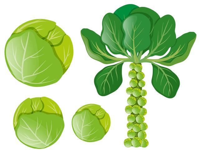 Gröna kål och brusselspiror vektor