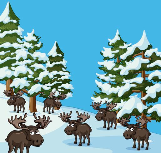 Molte moose sulla montagna di neve