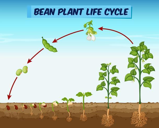 Diagramm, das den Lebenszyklus einer Bohnenpflanze zeigt