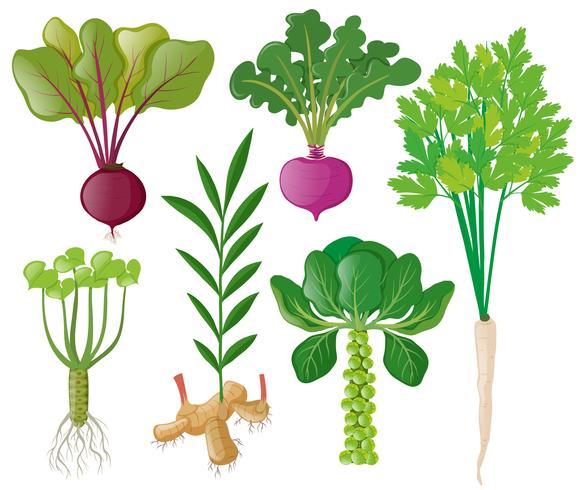 Olika typer av rotgrönsaker