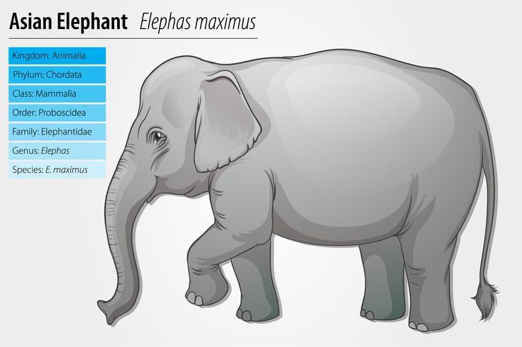 Elefante asiático vector