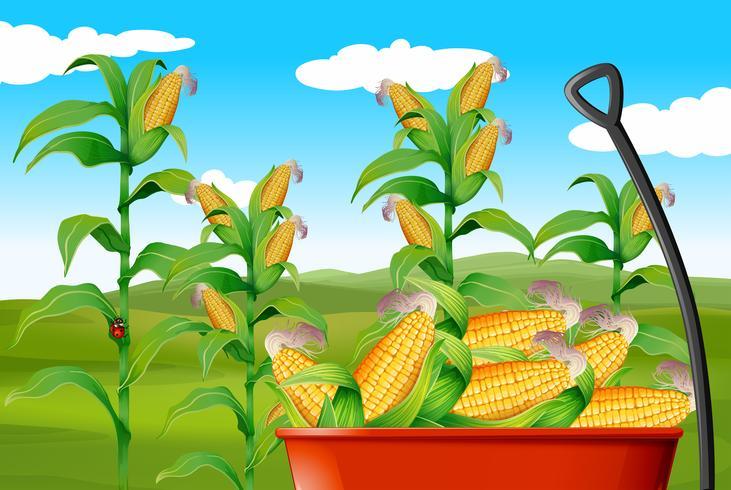 Campo milho, e, milho, em, vagão
