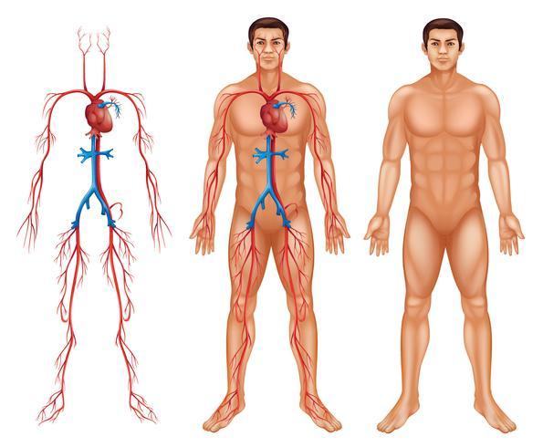 Sistema circulatorio masculino vector