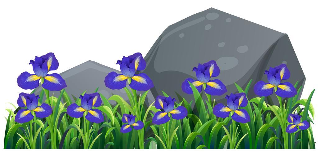 Purple irish flowers in the garden
