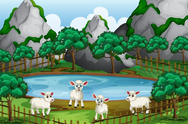 Cuatro ovejas junto al estanque