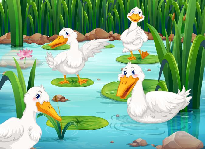 Four ducks living in the pond
