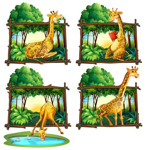 Quattro fotogrammi di giraffe nella giungla