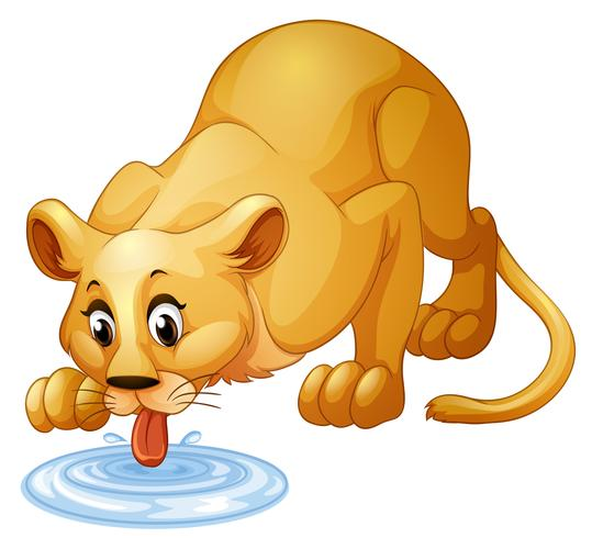 Lion drinking water from puddle