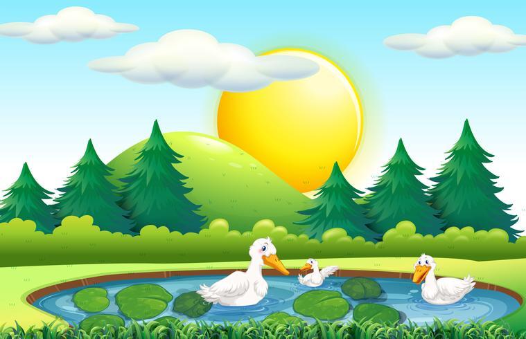 Trois canards dans l'étang