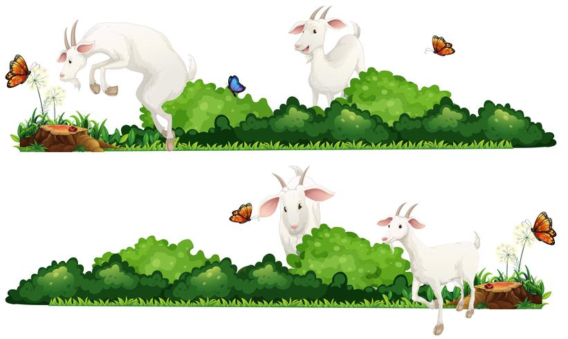 Weiße Ziegen im Garten