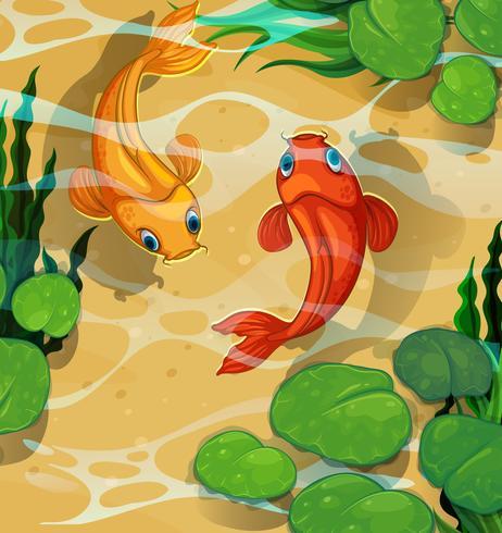 Scen med kois som simmar i poolen