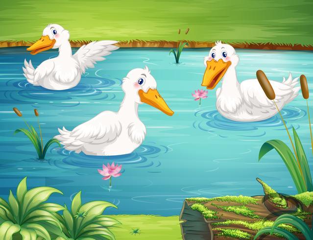 Trois canards nageant dans l'étang