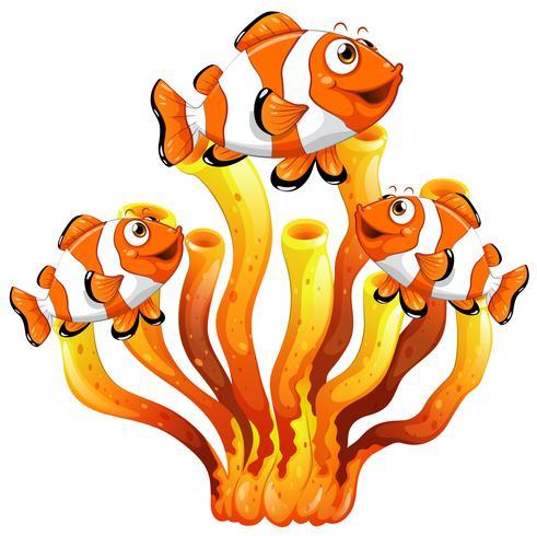 Clownfische, die um Korallenriff schwimmen